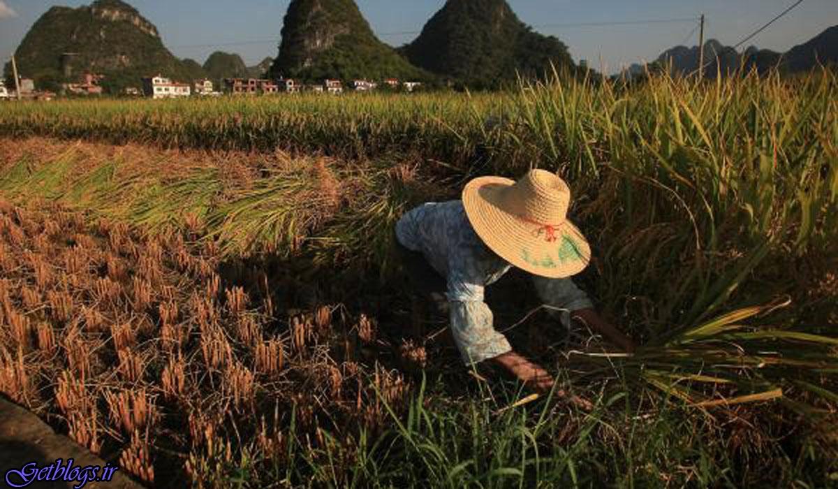 تغییرات آب و هوایی مواد مغذی برنج را از بین می برد