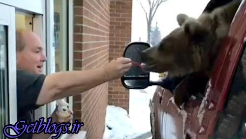 عکس ، جنجال خریدن بستنی جهت خرس در آلبرتا!