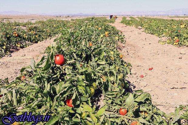 تهدید بیماریهای میکروبی جدی است ، سبزیجاتی که طعم فاضلاب میدهند