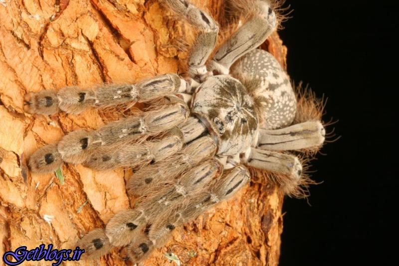 درمان نوعی صرع با سم عنکبوت